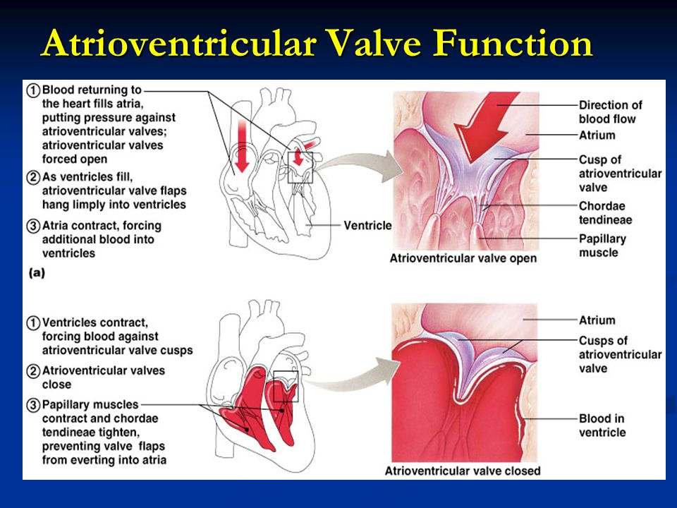 Atrioventricular Valve Function
