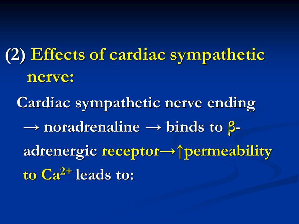 (2) Effects of cardiac sympathetic nerve: