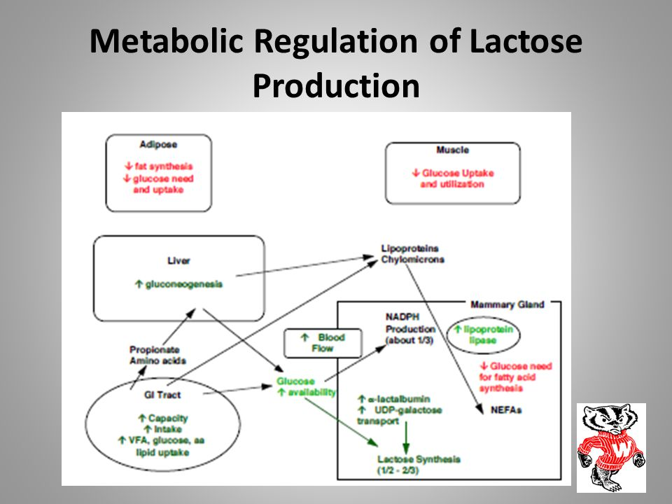 Metabolic Regulation of Lactose Production