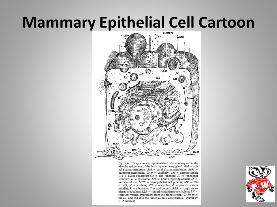 Mammary Epithelial Cell Cartoon