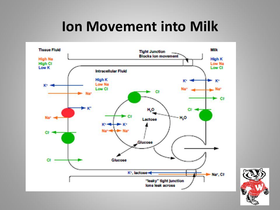 Ion Movement into Milk