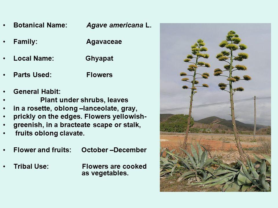 Botanical Name: Agave americana L.