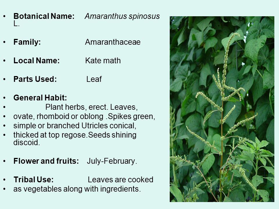Botanical Name: Amaranthus spinosus L.