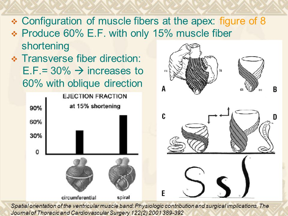 Configuration of muscle fibers at the apex: figure of 8