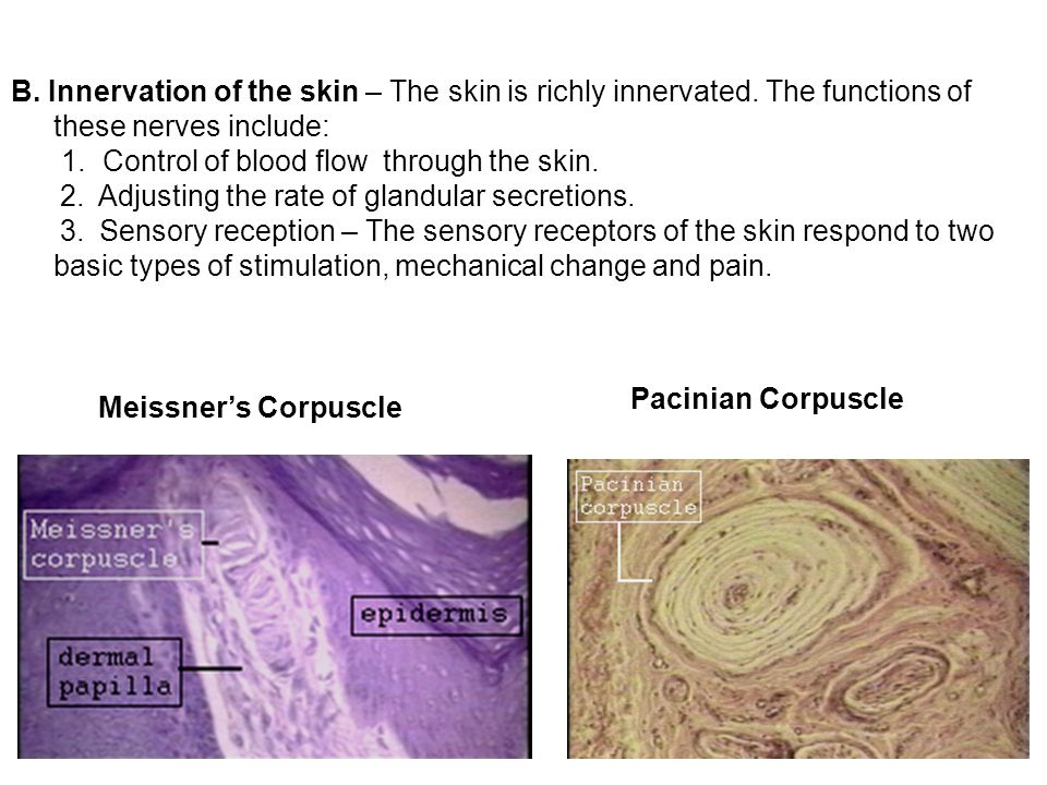 B. Innervation of the skin – The skin is richly innervated