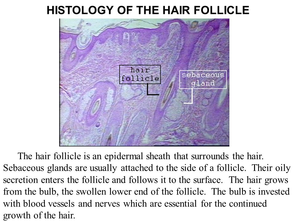 HISTOLOGY OF THE HAIR FOLLICLE