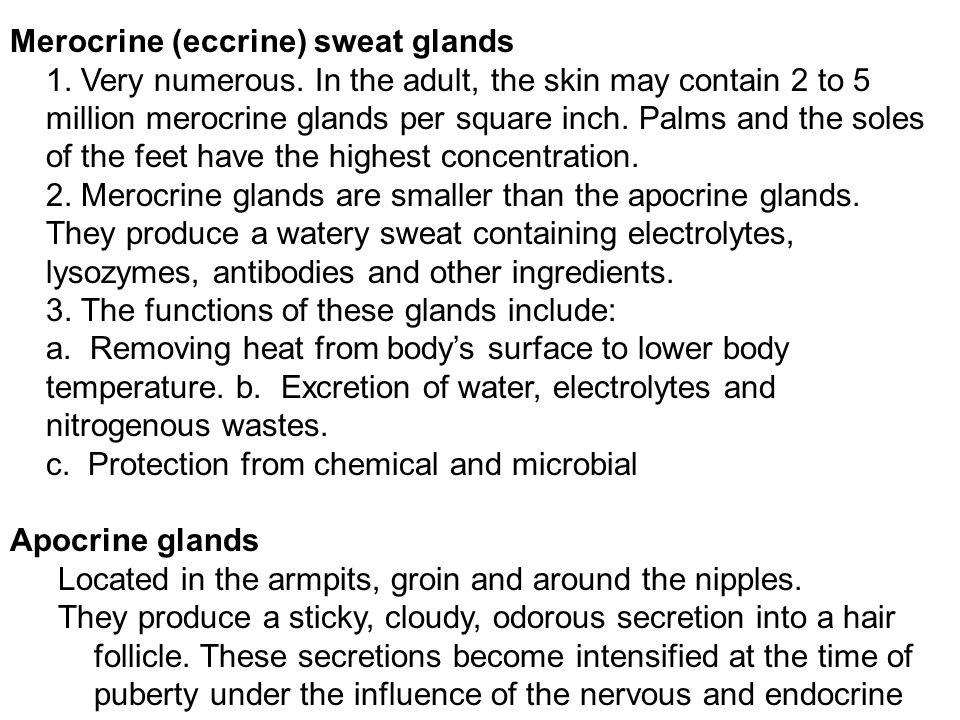 Merocrine (eccrine) sweat glands 1. Very numerous
