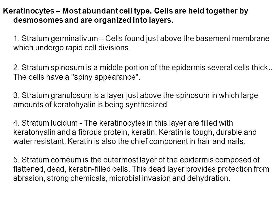 Keratinocytes – Most abundant cell type