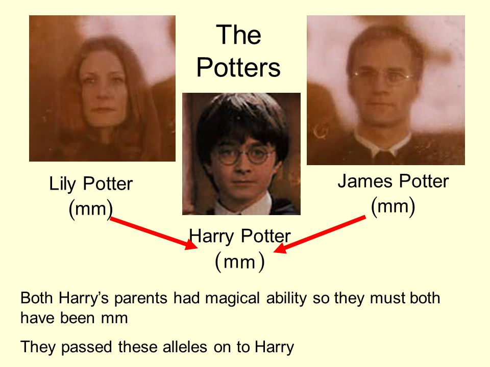 The Potters James Potter (mm) Lily Potter (mm) Harry Potter (WW) m m