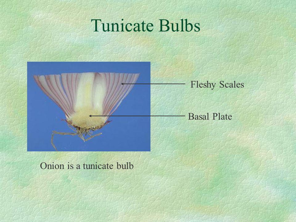 Tunicate Bulbs Fleshy Scales Basal Plate Onion is a tunicate bulb
