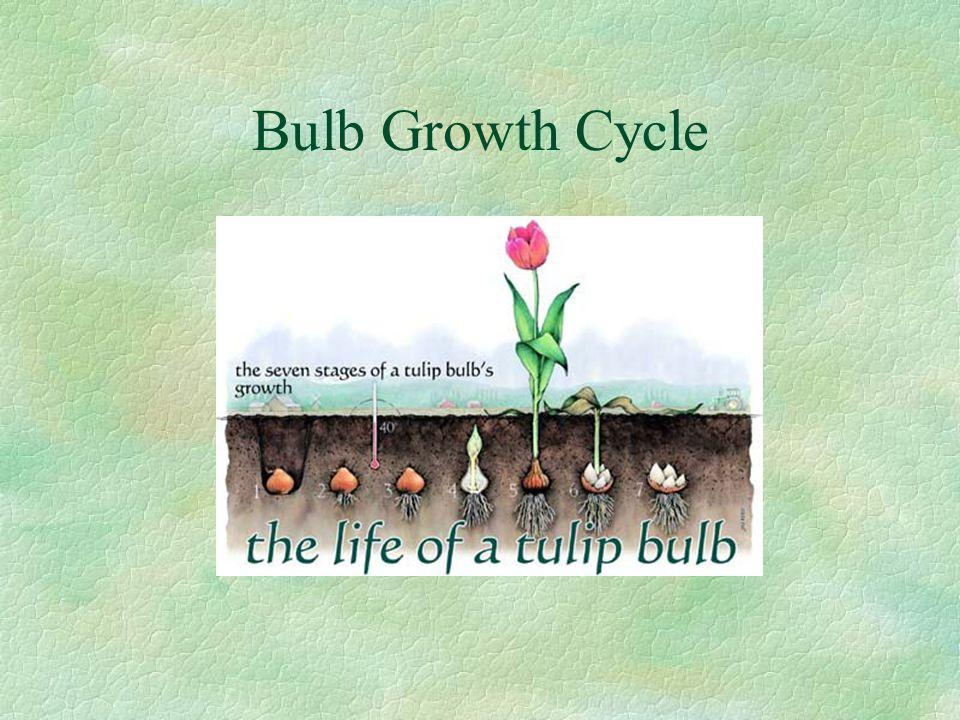 Bulb Growth Cycle