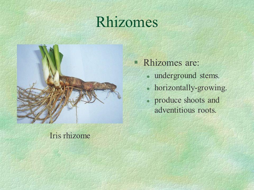 Rhizomes Rhizomes are: underground stems. horizontally-growing.