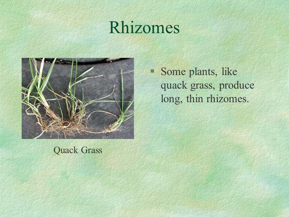 Rhizomes Some plants, like quack grass, produce long, thin rhizomes.