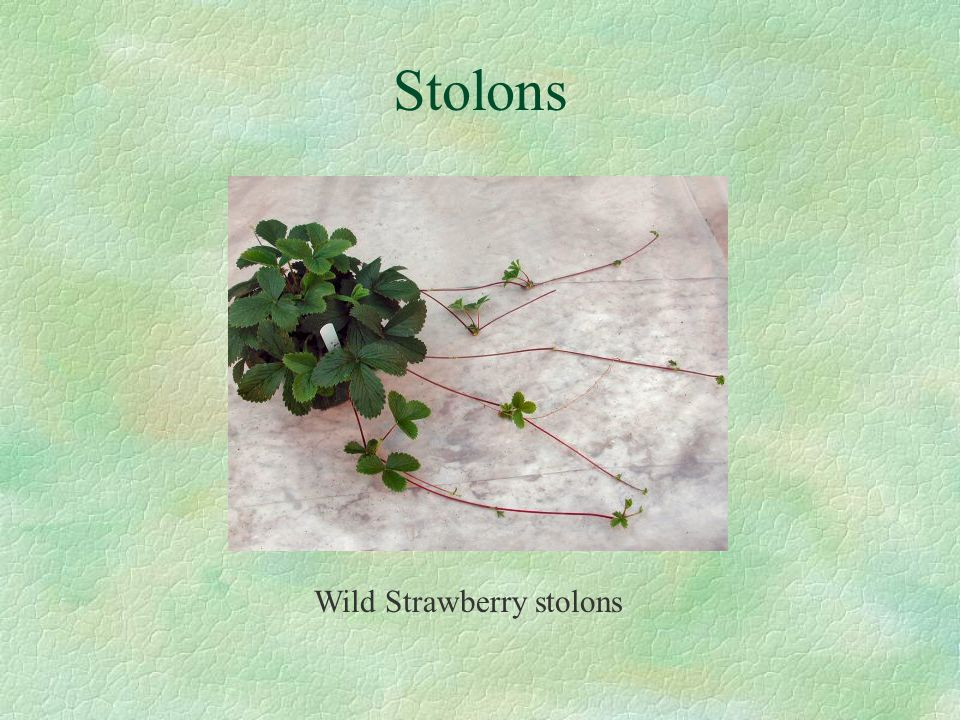 Stolons Wild Strawberry stolons