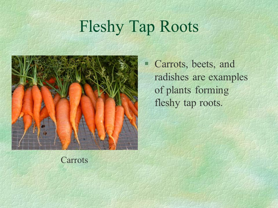 Fleshy Tap Roots Carrots, beets, and radishes are examples of plants forming fleshy tap roots.