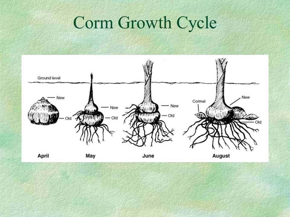 Corm Growth Cycle
