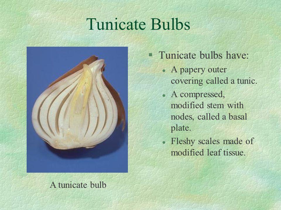 Tunicate Bulbs Tunicate bulbs have: