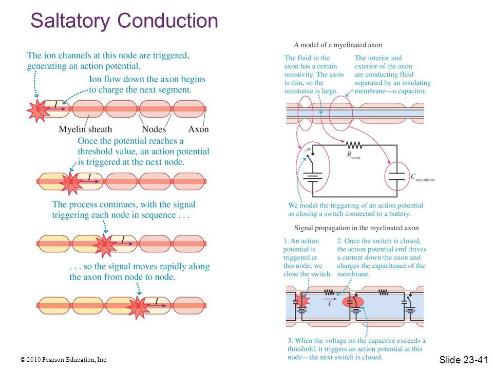 Saltatory Conduction Slide 23-41