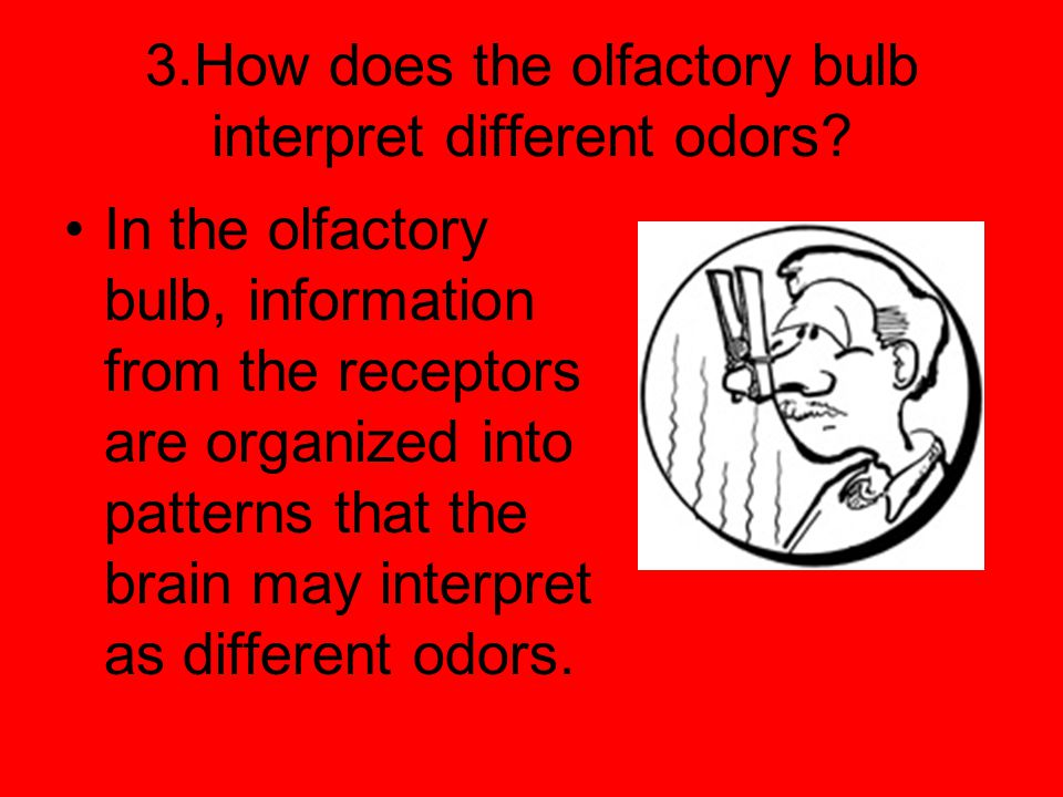 3.How does the olfactory bulb interpret different odors