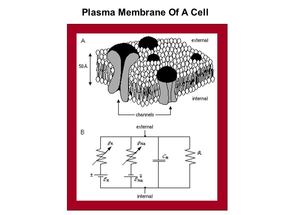 Plasma Membrane Of A Cell