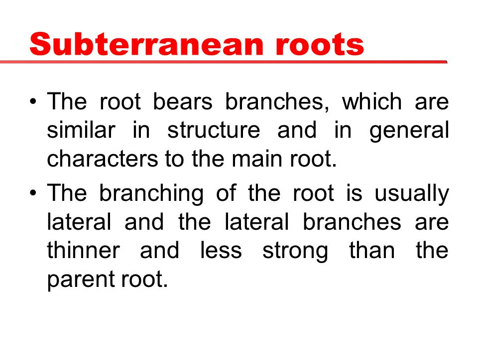 Subterranean roots The root bears branches, which are similar in structure and in general characters to the main root.
