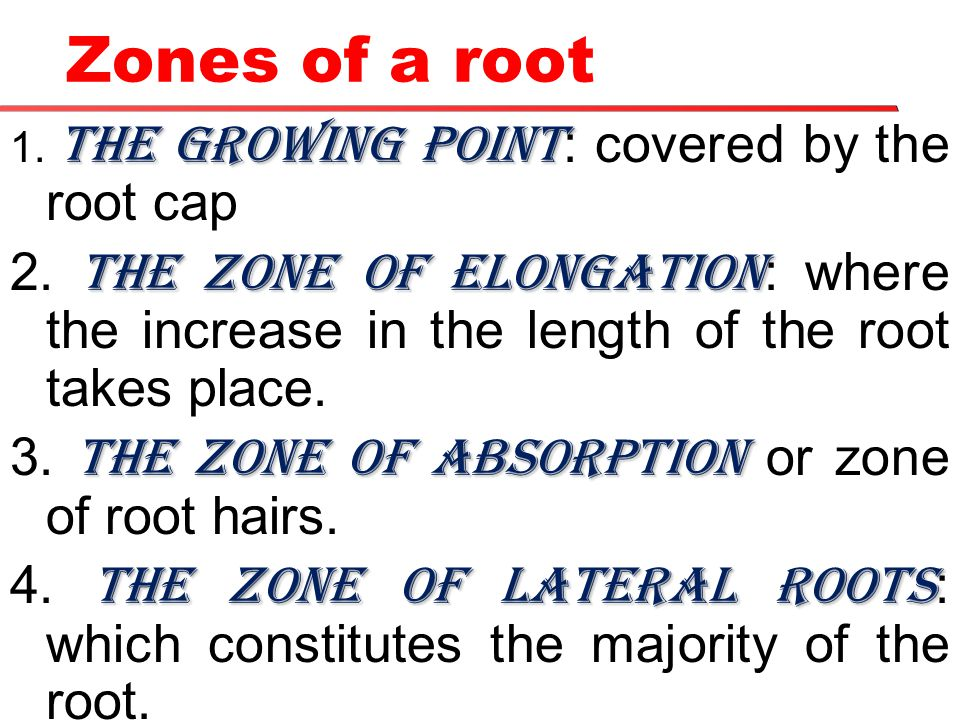 Zones of a root 1. The growing point: covered by the root cap. 2. The zone of elongation: where the increase in the length of the root takes place.
