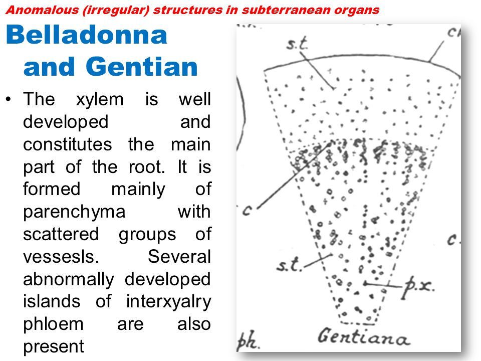 Belladonna and Gentian