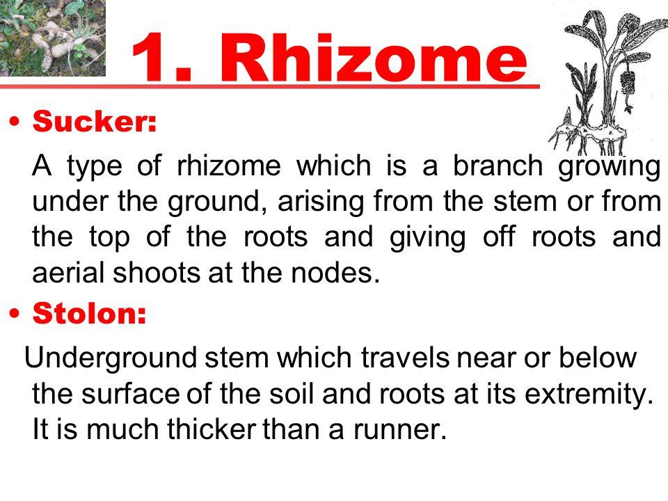 1. Rhizome Sucker: