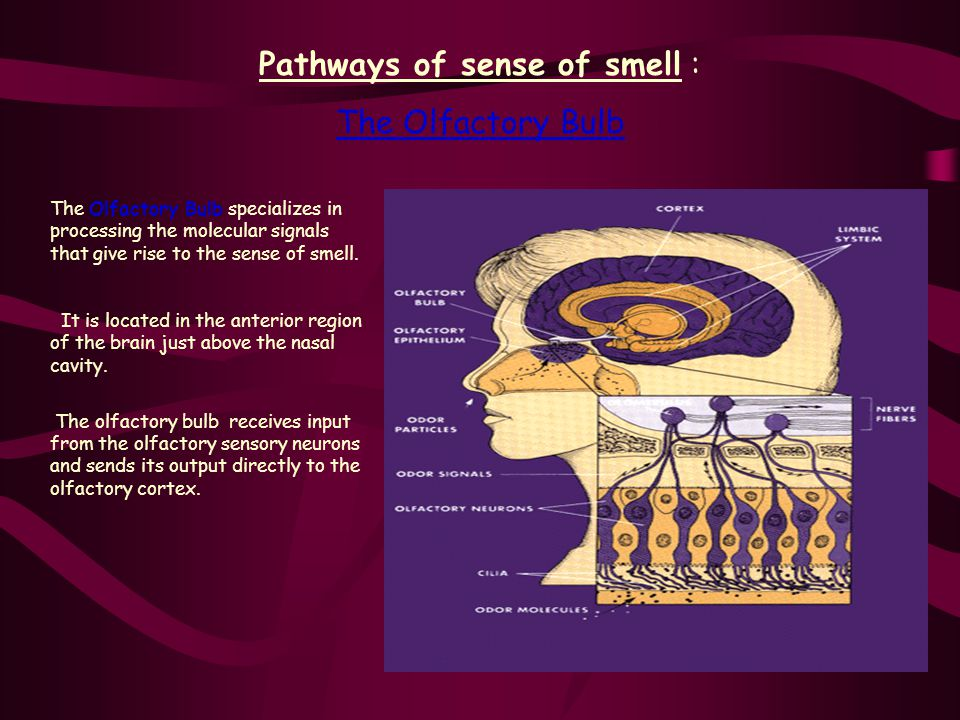 Pathways of sense of smell :