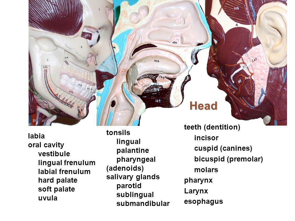 Head teeth (dentition) incisor cuspid (canines) bicuspid (premolar) molars pharynx Larynx esophagus
