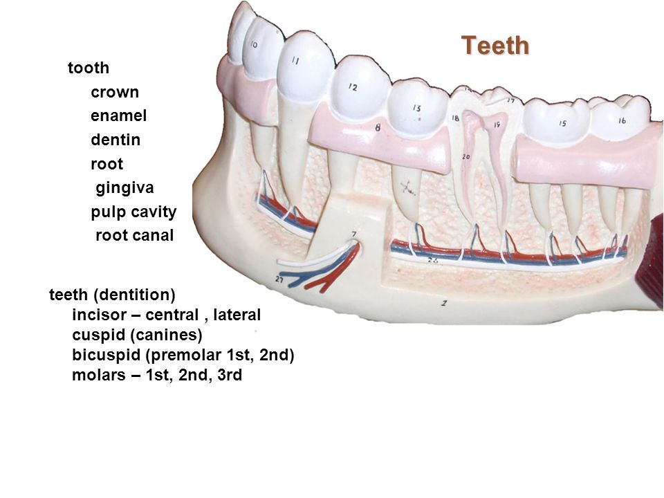 Teeth tooth crown enamel dentin root gingiva pulp cavity root canal