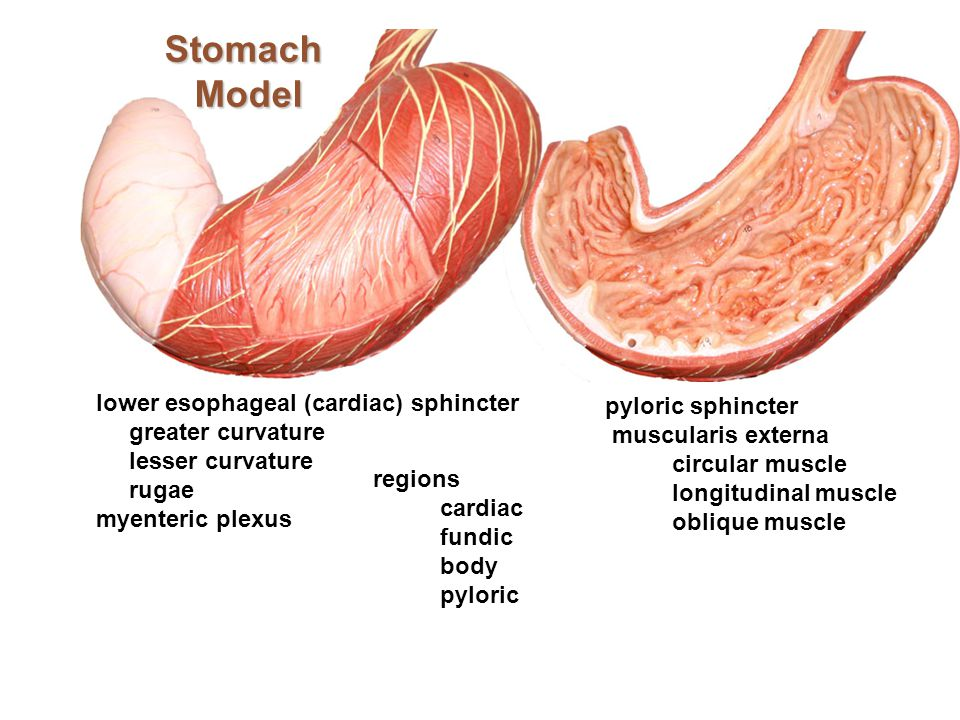 Stomach Model lower esophageal (cardiac) sphincter pyloric sphincter