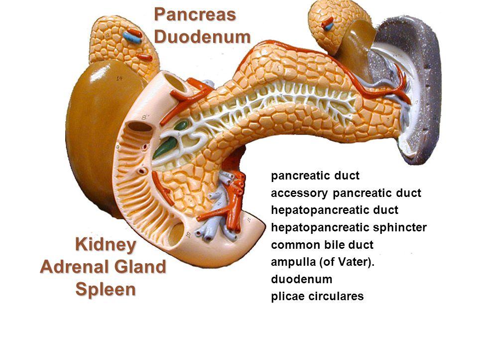 Kidney Adrenal Gland Spleen