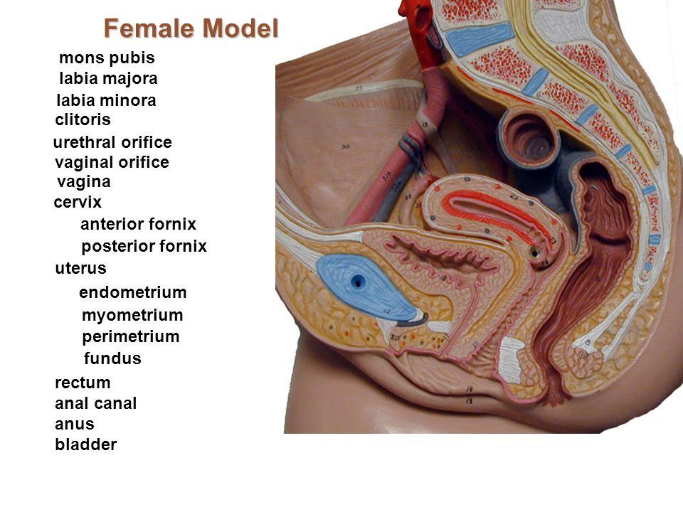 Female Model mons pubis labia majora labia minora clitoris