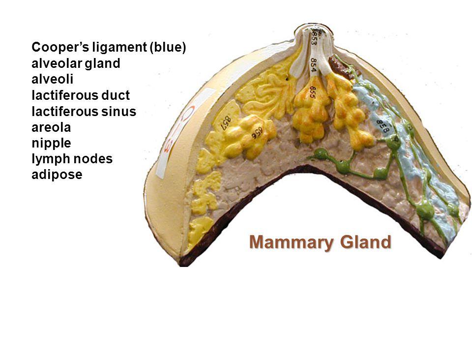 Mammary Gland Cooper's ligament (blue) areola alveolar gland alveoli