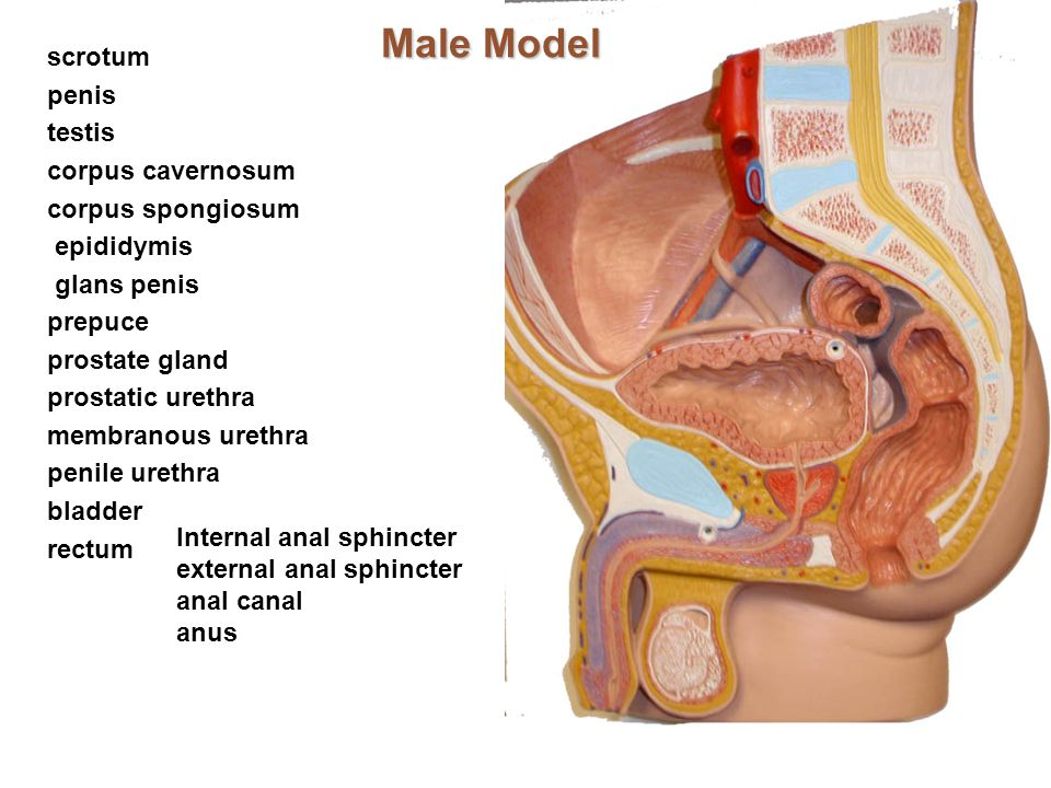 Rectal Canal Anatomy Images - human body anatomy