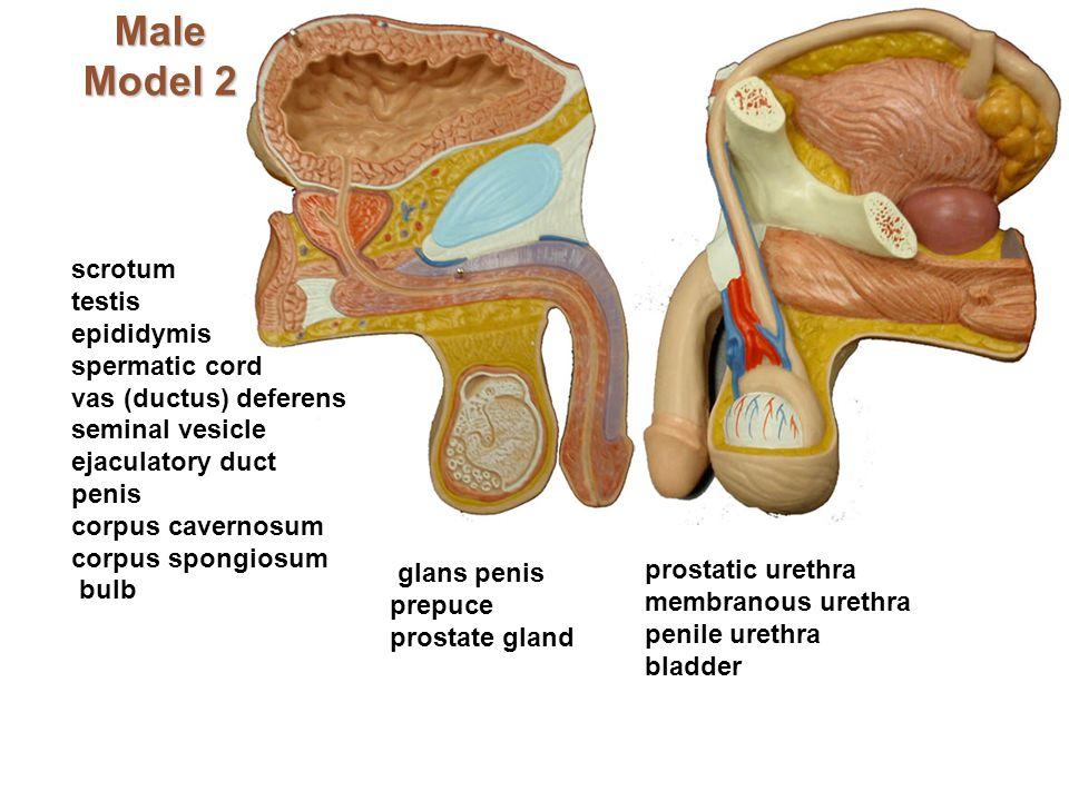 Male Model 2 scrotum testis epididymis spermatic cord