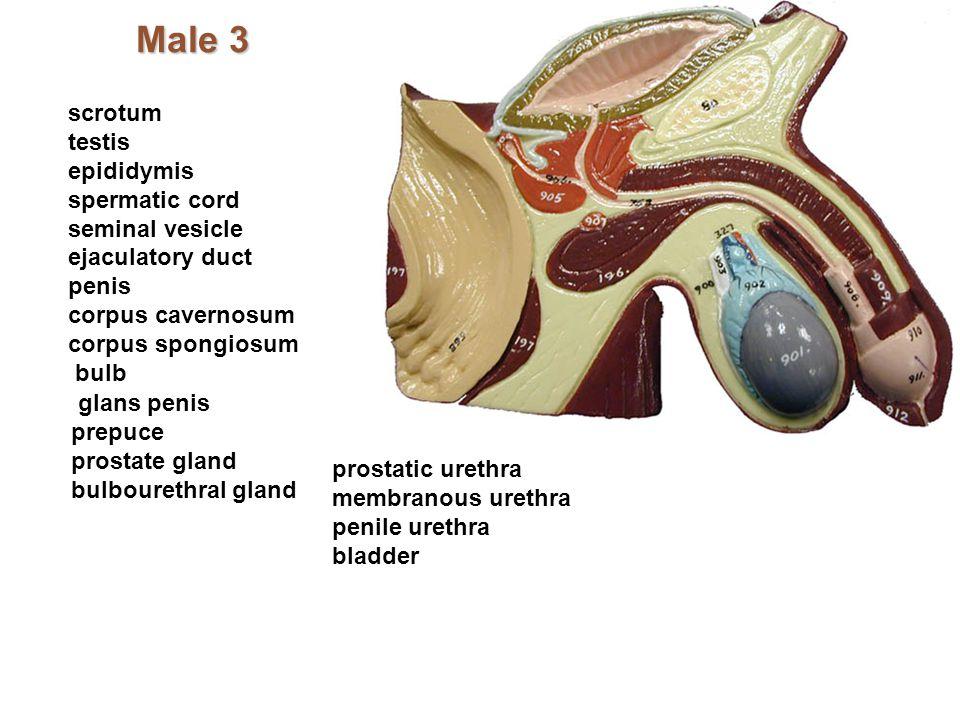 Male 3 scrotum testis epididymis spermatic cord seminal vesicle