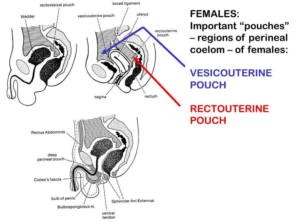 FEMALES: Important pouches – regions of perineal coelom – of females: VESICOUTERINE POUCH.