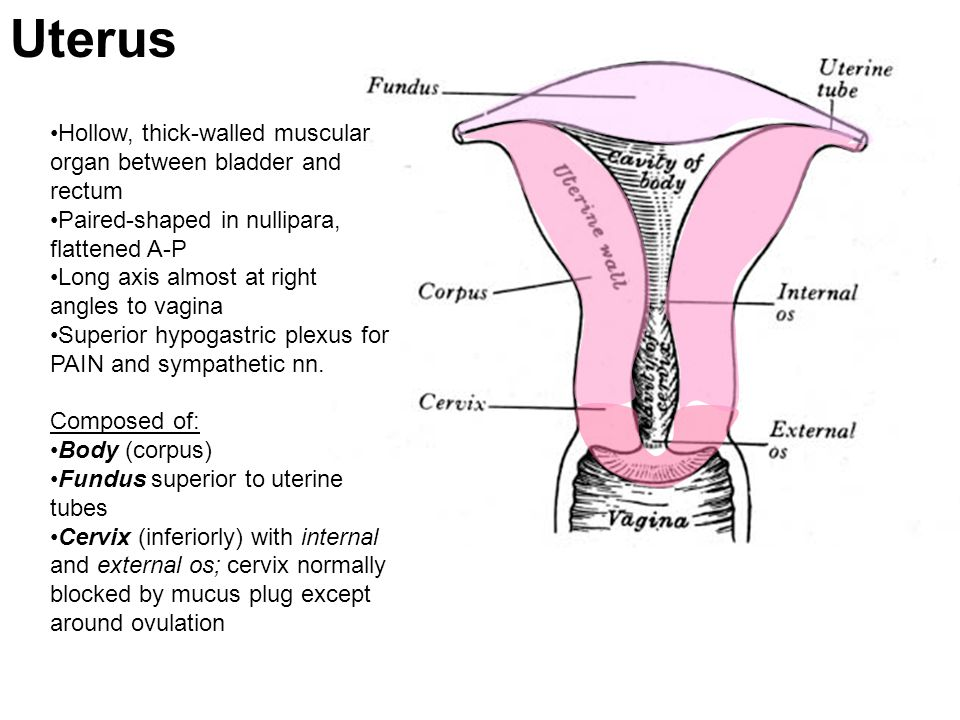 Uterus Hollow, thick-walled muscular organ between bladder and rectum