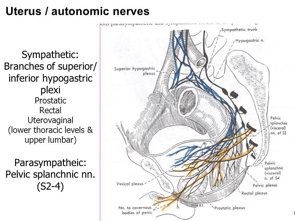 Uterus / autonomic nerves