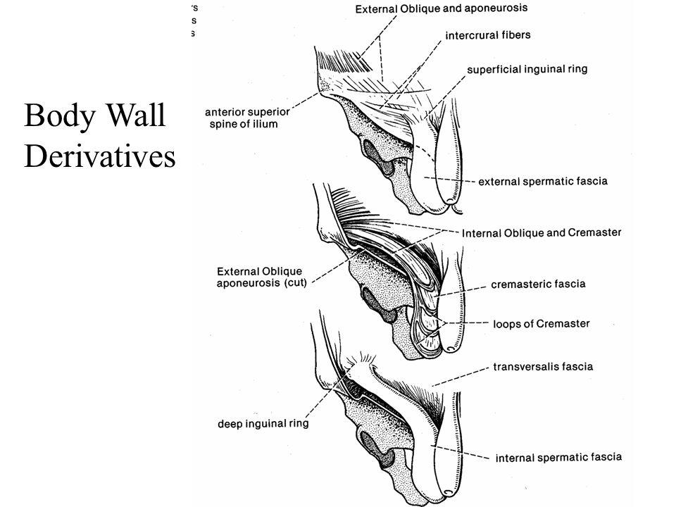 Body Wall Derivatives