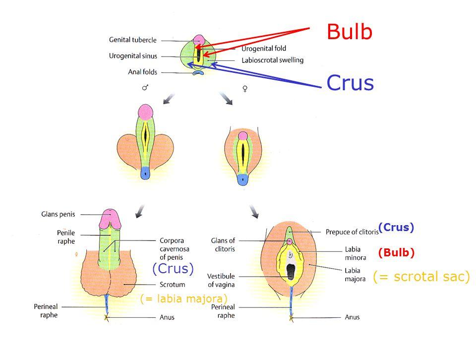 Bulb Crus (Crus) (Bulb) (Crus) (= scrotal sac) (= labia majora)