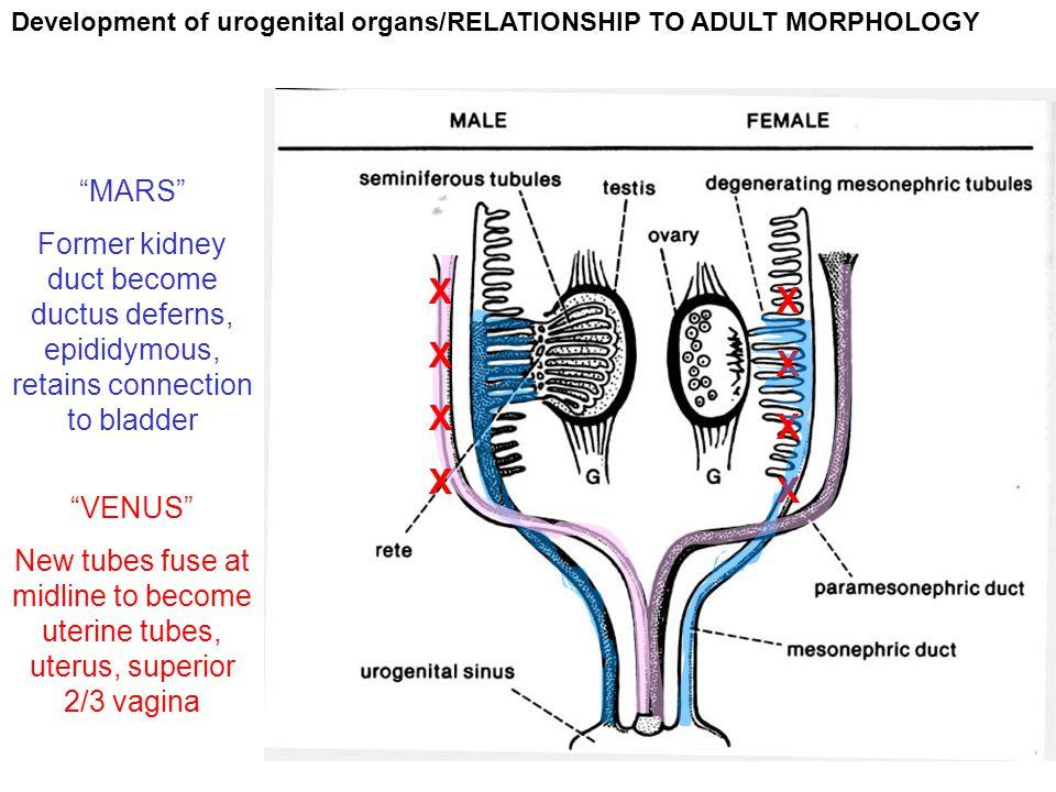 Development of urogenital organs/RELATIONSHIP TO ADULT MORPHOLOGY