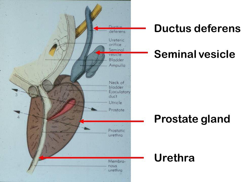 Ductus deferens Seminal vesicle Prostate gland Urethra