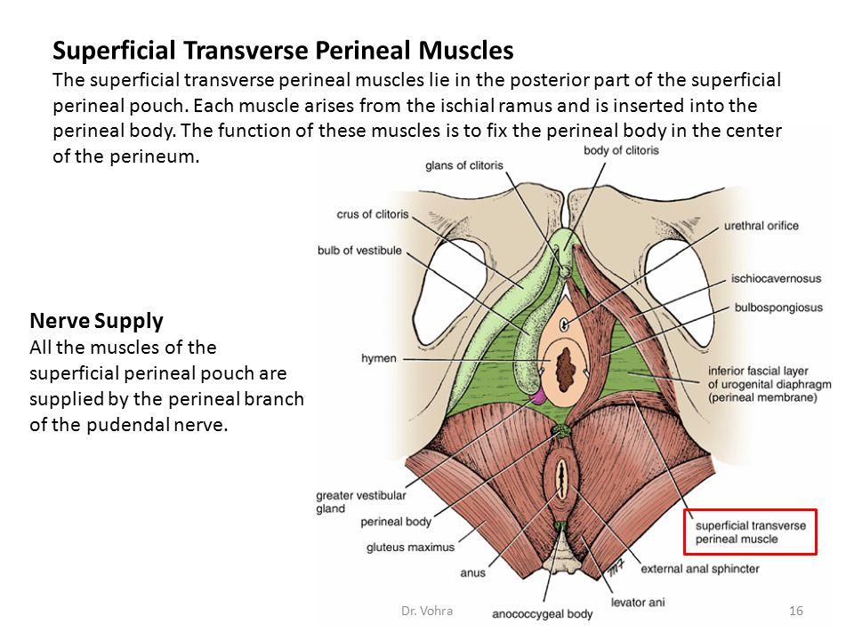 Superficial Transverse Perineal Muscles