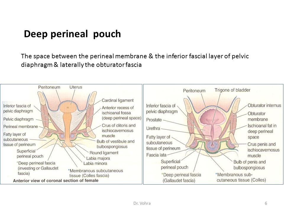 Deep perineal pouch The space between the perineal membrane & the inferior fascial layer of pelvic diaphragm & laterally the obturator fascia.