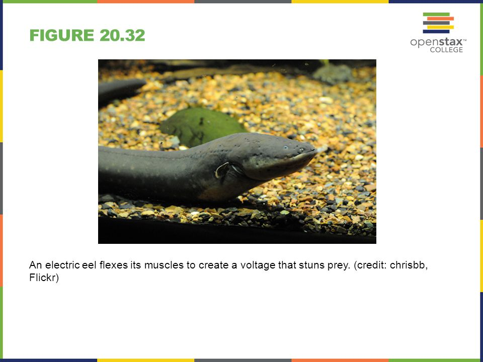 Figure 20.32 An electric eel flexes its muscles to create a voltage that stuns prey.