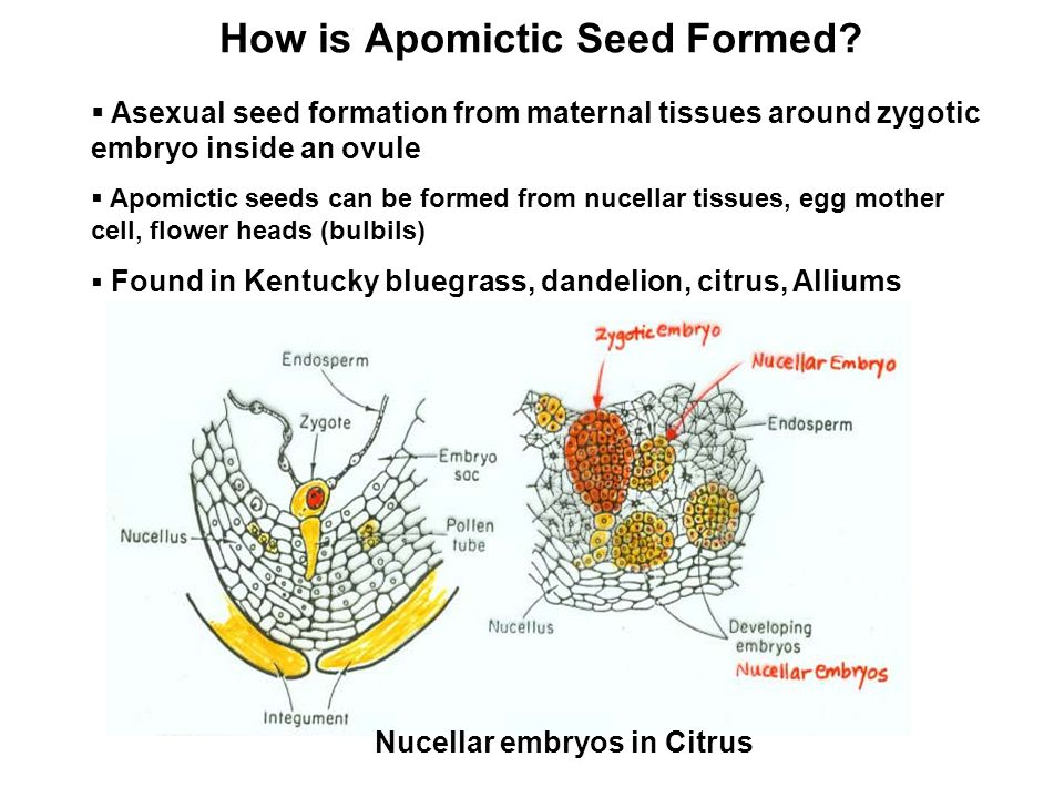 How is Apomictic Seed Formed