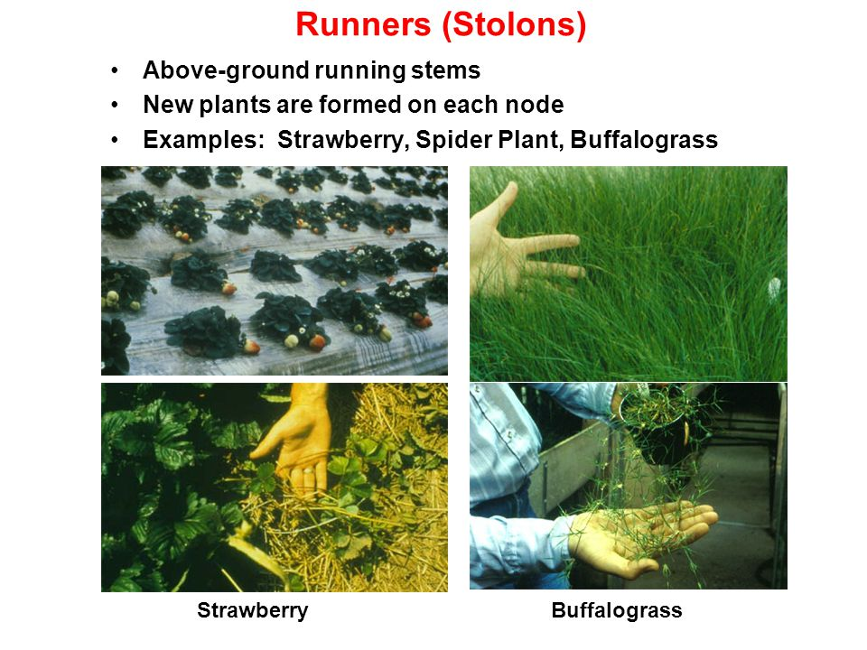 Runners (Stolons) Above-ground running stems